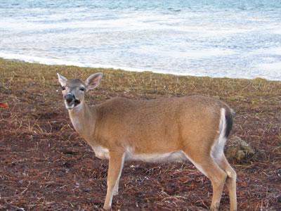 Key_Deer.jpg