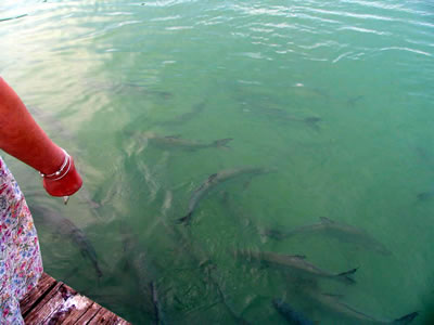 Tarpon_feeding_Robbies.jpg